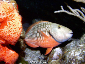 I love the yellow eye shadow on the spot light parrot fish by Cheri Denn